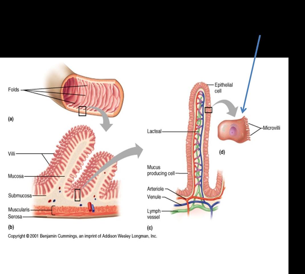 Bunky tenkého čreva, kde prebieha resorpcia železa